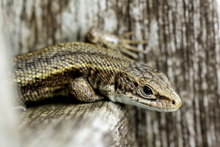 Common Lizard, Sitting On Wood, Zootoca Vivipara