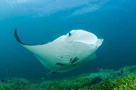 Oceania, Micronesia, Yap, Reef Manta Ray, Manta Alfredi LANG_EVOIMAGES