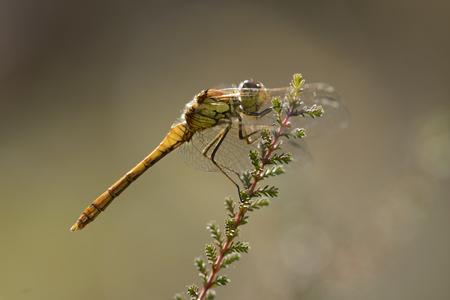 Common Darter, Sympetrum Striolatum, Hanging At A Twig