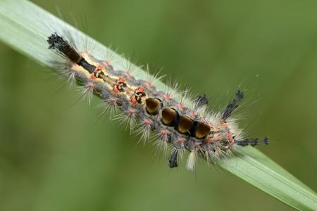 Caterpillar Of Rusty Tussock Moth, Orgyia Antiqua, On Blade
