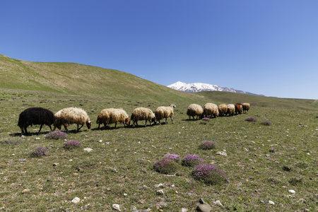 Turkey, Anatolia, Eastern Anatolia Region, Bitlis Province, Near Adilcevaz, Taurus Mountains, Alpine Flock Of Sheep Walking On Meadow, Volcano Suephan Dagi In The Background