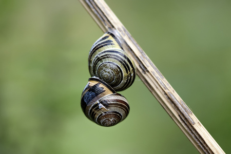 Two Snails, Gastropoda, Hanging On A Stem