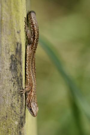 Common Lizard, Zootoca Vivipara, Sitting Head First On Wood