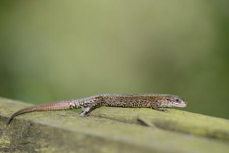 Common Lizard, Zootoca Vivipara, Sitting  On Wood