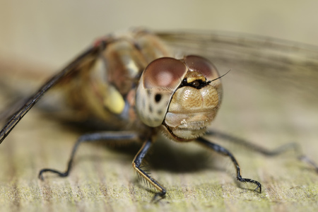 Portrait Of Common Darter, Sympetrum Striolatum LANG_EVOIMAGES