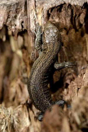 Common Lizard, Zootoca Vivipara, On Wood LANG_EVOIMAGES