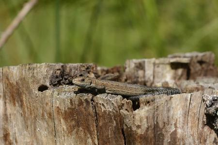 Common Lizard, Zootoca Vivipara, On Dead Wood LANG_EVOIMAGES