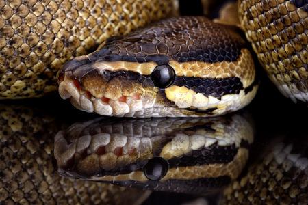 Royal Python, Python Regius, Partial View LANG_EVOIMAGES
