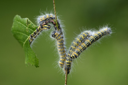 Five Caterpillars Of Buff-Tip Moth, Phalera Bucephala, Eating Leaf Of A Twig