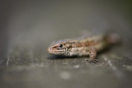 Portrait Of Common Lizard, Zootoca Vivipara LANG_EVOIMAGES