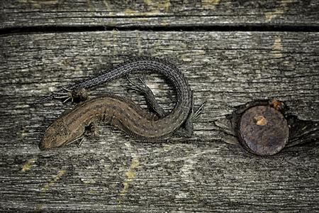 Common Lizard, Zootoca Vivipara, Sitting On Grey Wood
