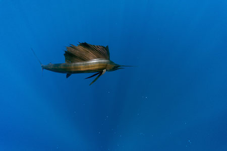Mexico, Yucatan, Isla Mujeres, Caribbean Sea, Indo-Pacific Sailfish, Istiophorus Albicans LANG_EVOIMAGES
