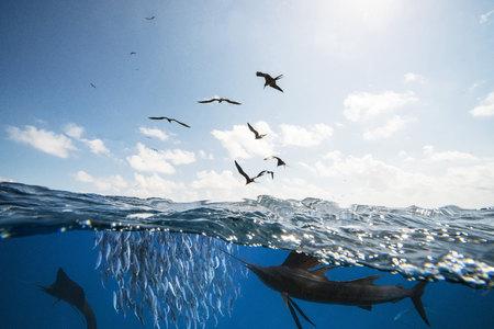 Mexico, Yucatan, Isla Mujeres, Caribbean Sea, Indo-Pacific Sailfishes, Istiophorus Platypterus, Hunting Sardines, Sardina Pilchardus, Frigate Birds LANG_EVOIMAGES