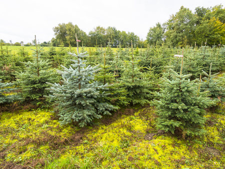 Germany, Hesse, Plantation Of Christmas Trees