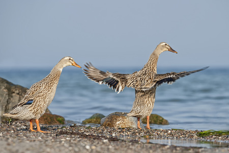 Germany, Schleswig-Holstein, Two Mallards, Anas Platyrhynchos, At Waterside