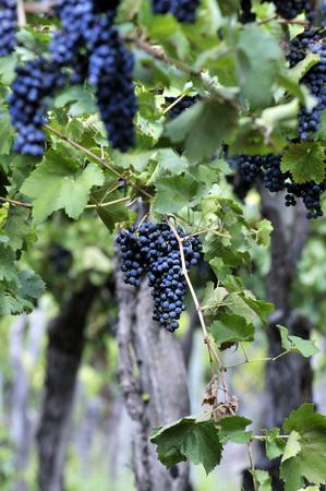 Argentina, Mendoza Province, Maipu, Grape Variety Syrah Vine