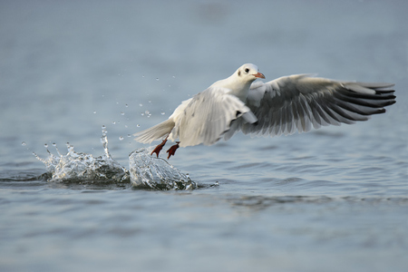 Germany, Schleswig-Holstein, Seagull, Laridae, Taking Off Water Surface