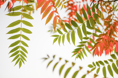 Autumn Leaves Of Staghorn Sumac, Rhus Typhina