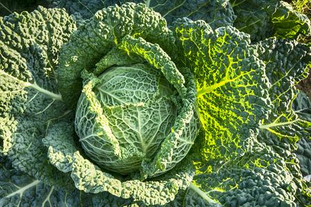 United Kingdom, Scotland, East Lothian, North Berwick, Savoy Cabbage, Brassica Oleracea Var. Sabauda L