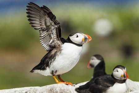 United Kingdom, England, Northumberland, Farne Islands, Atlantic Puffins, Fratercula Arctica LANG_EVOIMAGES