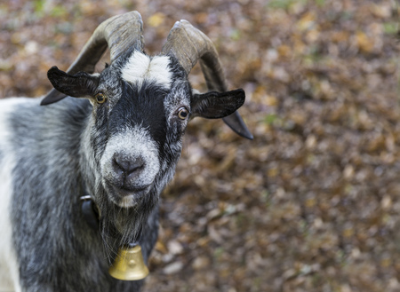 Germany, Baden-Wuerttemberg, Staufen Im Breisgau, Portrait Of A Goat
