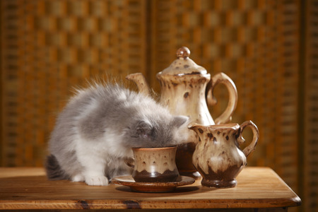 British Longhair Kitten Sitting On Wooden Table Drinking Out Of A Cup