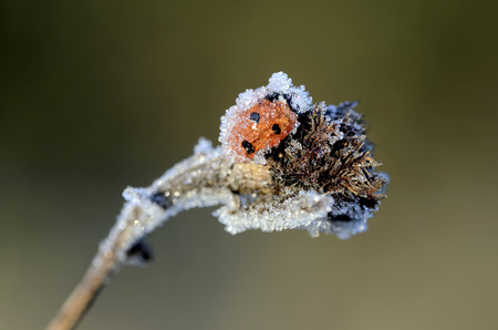 Seven-Spotted Ladybird, Coccinella Septempunctata, Covered With Frost