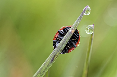 Seven-Spotted Ladybird, Coccinella Septempunctata, On Blade Of Grass LANG_EVOIMAGES