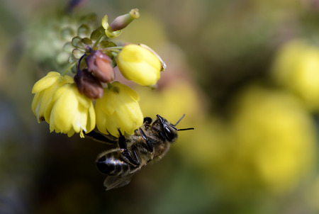 Honey Bee, Apis, Hanging At Blossom
