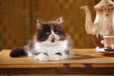 British Longhair Kitten Lying On Wooden Table LANG_EVOIMAGES