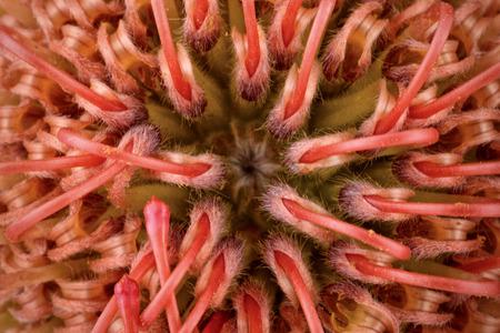 Protea, Close-Up