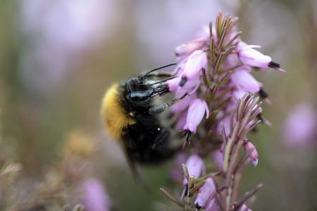 Bumblebee, Bombus, Hanging At Blossom