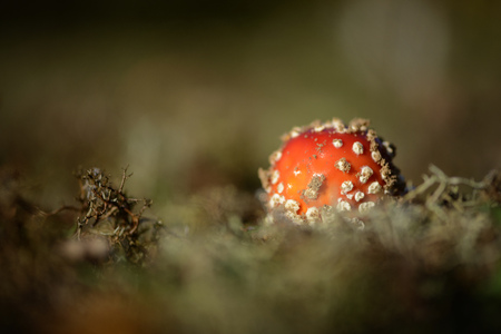 Fly agaric, Amanita muscaria LANG_EVOIMAGES