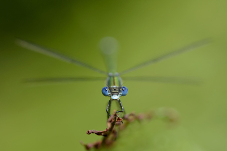 Emerald Damselfly, Lestes sponsa, in front of green background
