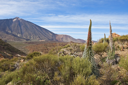 Spain, Canary Islands, Tenerife, Los Roques de Garcia, Mount Teide, Teide National Park, Echium Wildpretii LANG_EVOIMAGES