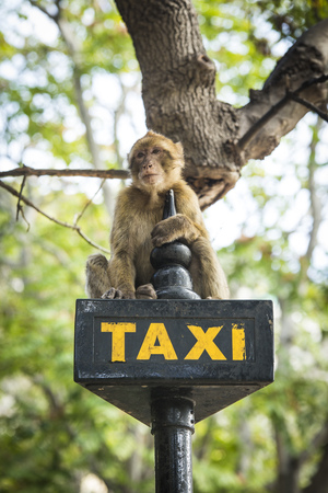 Gibraltar, Barbary macaque sitting on taxi sign