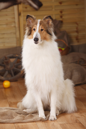 American Collie sitting in a barn