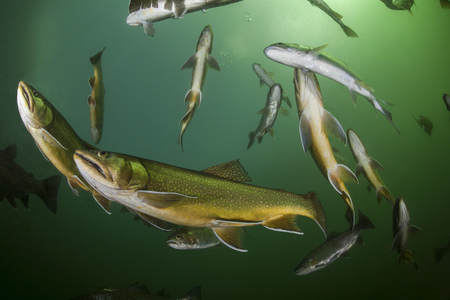 Austria, Styria, Grueblsee, brook trouts and rainbow trouts LANG_EVOIMAGES