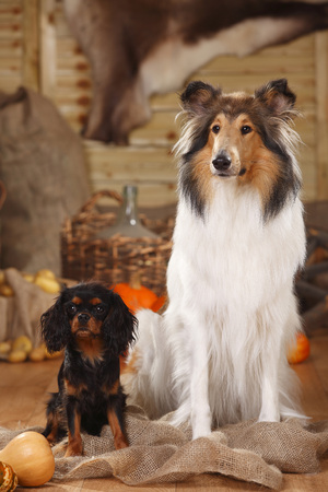 Cavalier King Charles Spaniel and American Collie sitting in an autumnal decorated barn LANG_EVOIMAGES