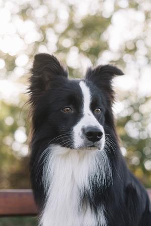Portrait of Border Collie