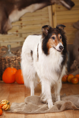 American Collie standing in an autumnal decorated barn