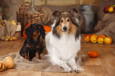 Cavalier King Charles Spaniel and American Collie in an autumnal decorated barn LANG_EVOIMAGES