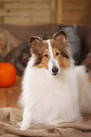 American Collie lying in an autumnal decorated barn