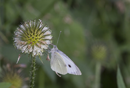 Close-up of cabbage white on flower