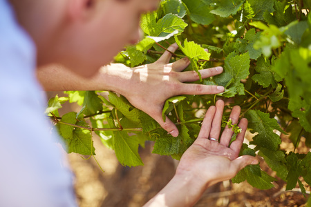 South Africa, Wine grower scrutinizing grapevines