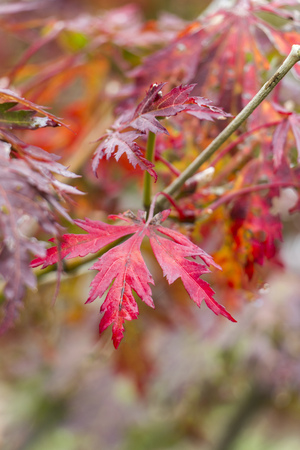 Red leaves of Fullmoon Maple