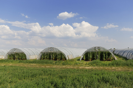 Austria, Burgenland, Sankt Andrae am Zicksee, Green houses, Cultivation of tomato plants LANG_EVOIMAGES