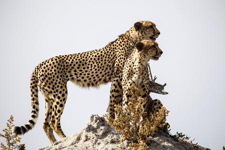 Botswana, Okavango Delta, two cheetahs looking for prey