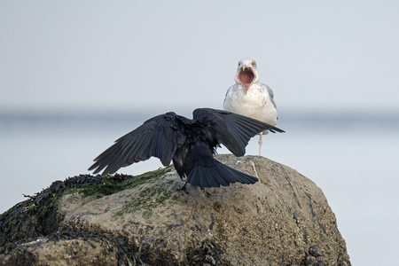 Germany, Schleswig-Holstein, Seagull and raven on rock