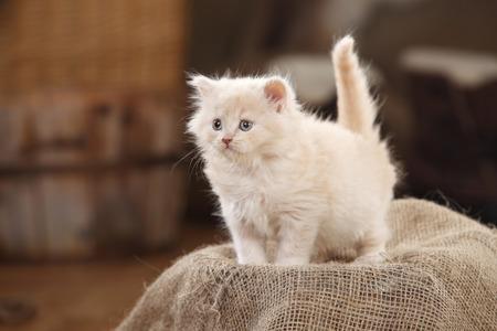 British Longhair Cat, kitten, cream, standing on jute